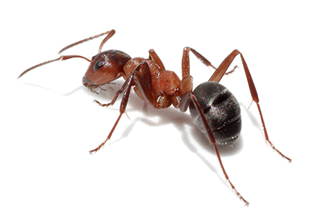 Knockout Pest Control Vancouver Ants