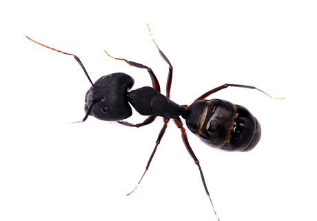 Knockout Pest Control Vancouver Carpenter Ants