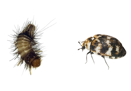 Knockout Pest Control Vancouver Carpet Beetle