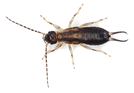 Knockout Pest Control Vancouver Earwig