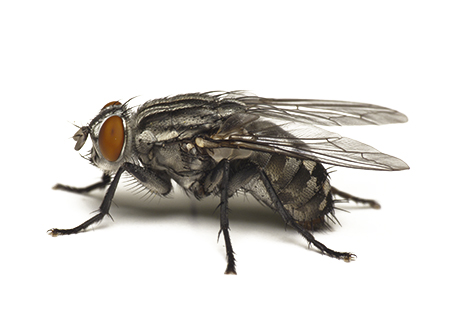 Knockout Pest Control Vancouver Fly Flies