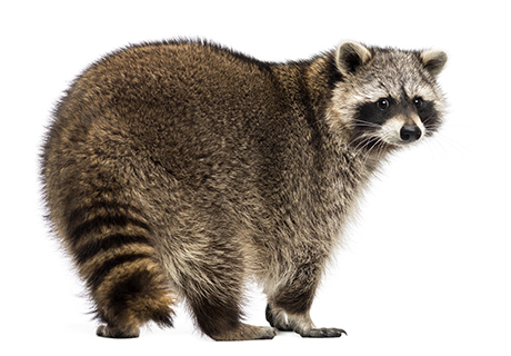 Knockout Pest Control Vancouver Raccoon