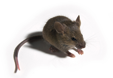 Knockout Pest Control Vancouver Rat