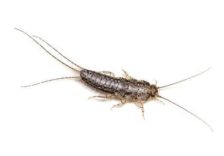 Knockout Pest Control Vancouver Silverfish