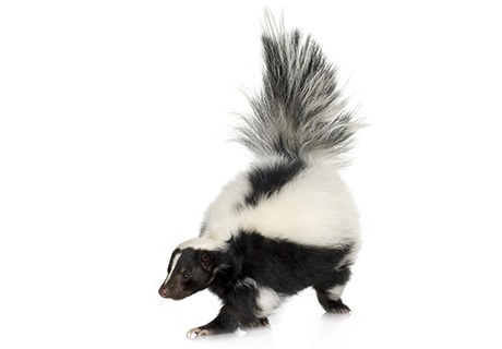 Knockout Pest Control Vancouver Skunk