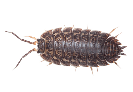 Knockout Pest Control Vancouver Wood Louse